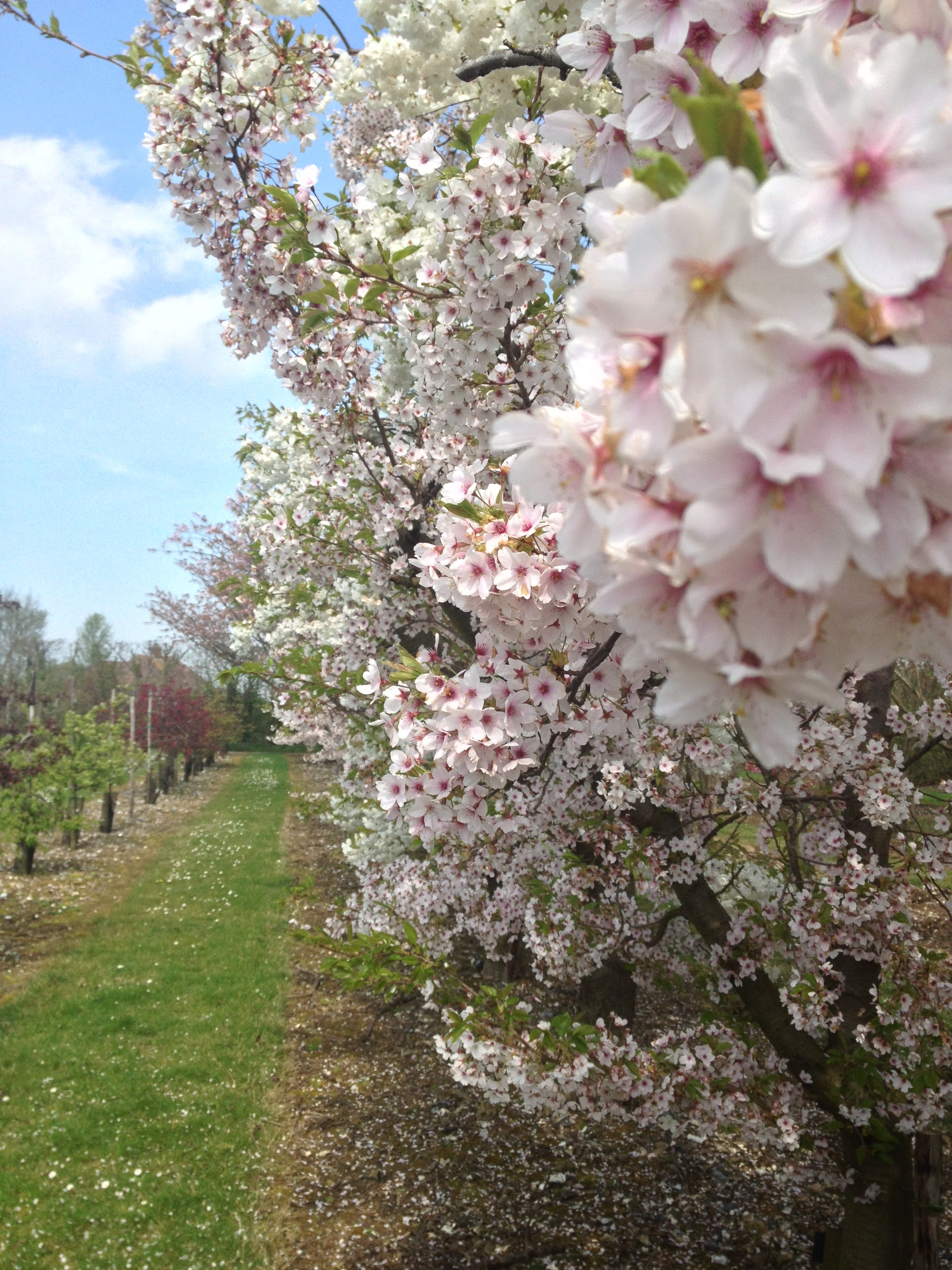 Brogdale Collections Heritage Orchards and Blossom